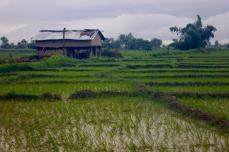 Agriculture in the Terai: The people who farm the banks of the Karnali River and occupy Rajapur island are primarily Tharus, the ethnic group indigenous to Nepal's Terai. Over the last 50 years, many Paharis (hill people) have also migrated to the region due to its fertile croplands. Almost the entire population of Rajapur actively practices agriculture, planting paddies during monsoon and wheat and other crops during the dry winter season.